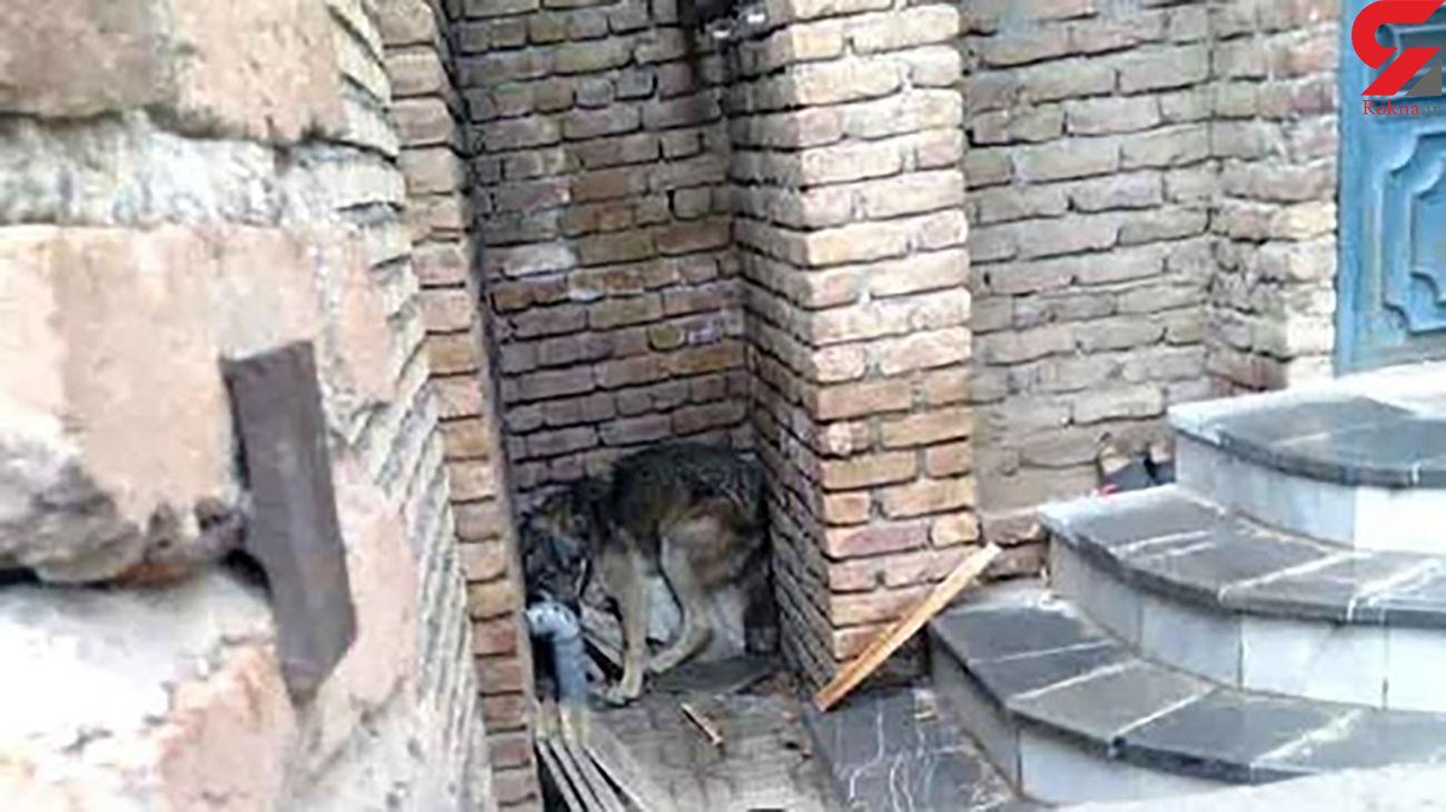 زنده گیری یک گرگ از منزل مسکونی در شهر ارومیه