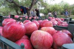 آیا سیب ارومیه و استان خوراک دام میشود؟!