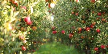 سیب آذربایجانغربی درگیر بیبرنامگی/ لزوم رفع پیچ و خمهای صادراتی