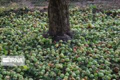 سیب زیردرختی، زخمی بر پیکره کشاورزی آذربایجانغربی