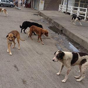 سرگردانی سگهای بدون صاحب در ارومیه/ یک مسئول: عقیم سازی میکنیم