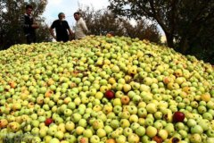 قطب سیب ایران؛ چشم انتظار حمایت/ دسترنج یکساله کشاورزان در جیب دلالان
