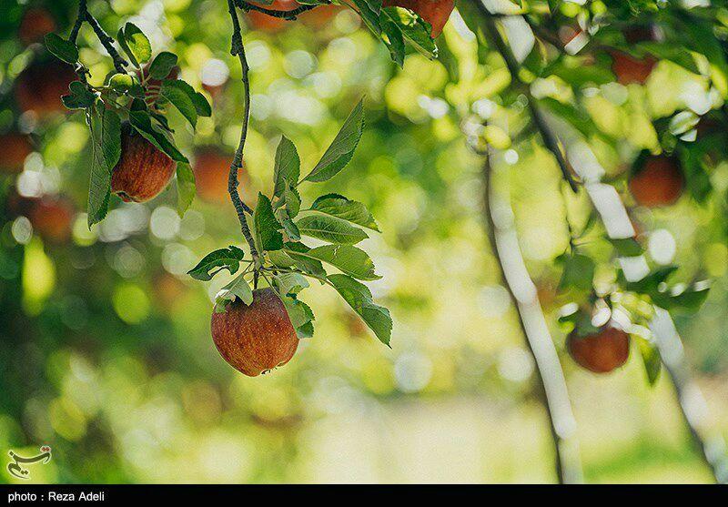 🔺وزیر جهاد کشاورزی در ارومیه: مشکلات صادرات سیب در آذربایجانغربی برطرف میشود