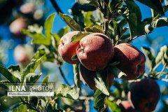 🔺قطب اول تولید سیب درختی کشور دربهدر مشتری/بخشنامه های داخلی، مانعی برای صادرات/ منوط شدن واردات موز در ازای صادرات سیب هم مشکل را حل نکرد